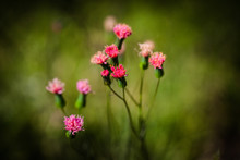 Tiny Pink And Red Flowers