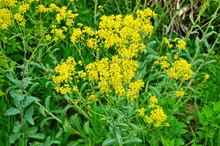Yellow Blossoms Of Dyer´s Woad, A Plant For Dyeing Blue/blooming Woad/blue Staining Plant
