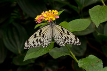 The Paper Kite, Rice Paper, Or Large Tree Nymph Butterfly (Idea Leuconoe).