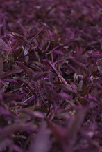 Tradescantia Pallida,  More Commonly Known As Wandering Jew Or Walking Jew, It Is Native To The Gulf Coast Region Of Eastern Mexico