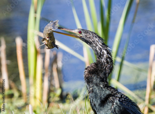 Anhinga spearing a fish for dinner at the Lake Apopka Wildlife Drive in Florida Canvas Print