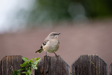 Close Up Of Small Mockingbird ...