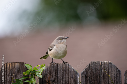Photo Close up of small mockingbird perched on a wooden plank fence.