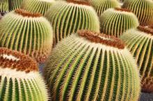 Echinocactus Grusonii AKA The ...