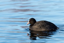 Black American Coot Swimming In A Lake During Daytime