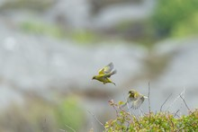 Beautiful Shot Of Two European Greenfinches Flying From A Tree Branch On A Blurred Background