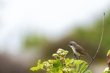 Cute Grey World Flycatcher Bird Perched On A Green Plant With A Blurred Background