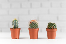 Three Small Cactuses In A Pot,...