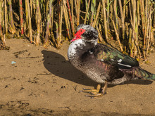 Bird Muscovy Duck Cairina Moschata