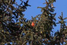 Low Angle Shot Of A Northern Cardinal Bird Resting On A Tree Branch With A Clear Blue Sky