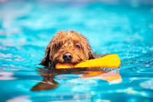 Mini Goldendoodle Swimming In ...