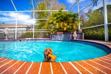 Mini Goldendoodle Swimming In ...