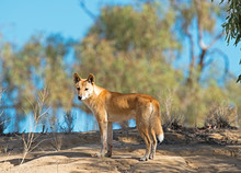 A Wild Dingo In The Far Outback Of Queensland, Australia.