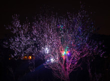 Pretty Almond Blossom Night Ph...