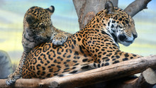 Jaguar Cub & Mon Playing Are A...