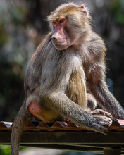 Young Baboon Sitting And Looking