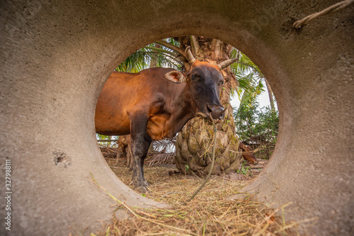 Photo A black chesnut coloured calf standing alone  and eating the grass, face looking