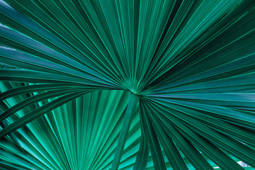 Panel Szklany Drzewa tropical palm leaf and shadow, abstract natural green background, dark tone textures