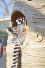 Ring-tailed Lemur With A Strip...