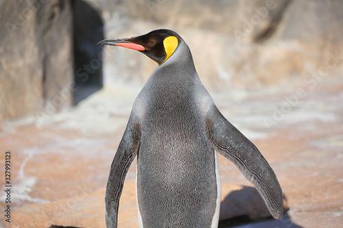 Emperor penguin looking sideways Canvas Print