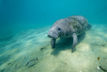 Wide Shot Of A Large, Wild, Friendly West Indian Manatee (trichechus Manatus) Approaching The Camera Underwater. Manatees Are Very Curious And Gentle By Nature.