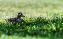 Duck Resting On Grass
