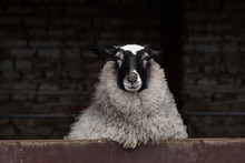 Curious Sheep With Black And W...