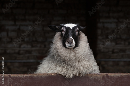 Curious sheep with black and white colored head and lavish wool looking out from Canvas Print