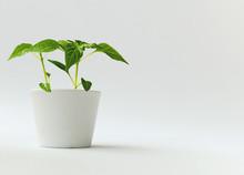 Indoor Pepper Plants In White ...