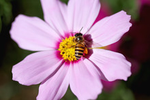 Single Bee Drinking Nectar On Pink Mexican Aster Or Cosmos Flowers Witn In Nature Garden Outdoor Background