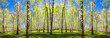 Leinwanddruck Bild - Spring trees with young green foliage in deciduous forest to look in the warm sunny day. Seasonal landscape. The sun's rays make their way through the leaves of trees. Panoramic banner.