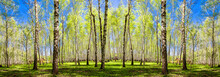 Spring Trees With Young Green Foliage In Deciduous Forest To Look In The Warm Sunny Day. Seasonal Landscape. The Sun's Rays Make Their Way Through The Leaves Of Trees. Panoramic Banner.