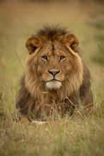 Male Lion Lies In Grass Facing...