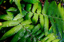 Large Foliage Of Tropical Leaf...