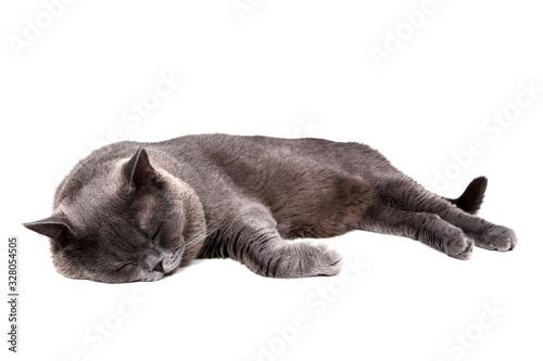 Obraz na plátne Sleeping British cat