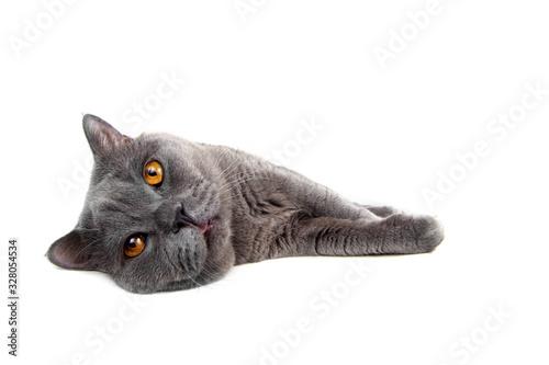 Vászonkép Lying British cat