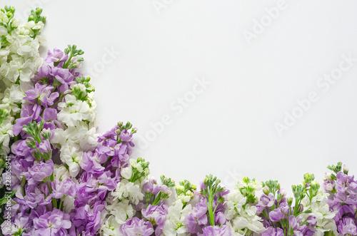 Fototapeta Flat lay of Purple and white color Matthiola Incana flowers put on white background for spring flower season concept. obraz
