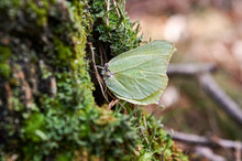 Brimstone Butterfly Warms In T...