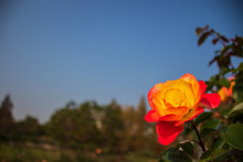 Two-tone Color Rose Flower And...