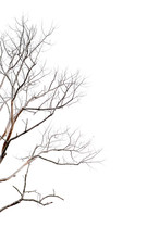 Dry Twigs, Dry Trees On A Whit...