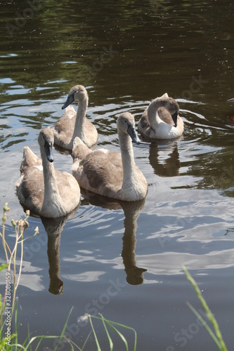 Fotomural Swans and cygnets swimming on Aire and Calder canal Knottingley West Yorkshire,