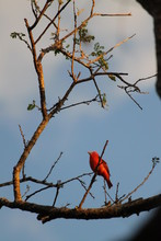 Summer Red Tanager Small Bird