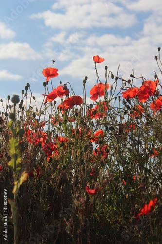 Fototapeta Red poppies taken against blue sky close up on summers morning In Britain UK obraz na płótnie