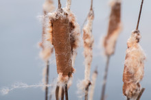 Cattail Plant In The Wind On A...
