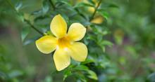Allamanda Yellow Water Drop