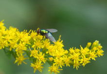 Yellow Fly On Solidago Flower ...