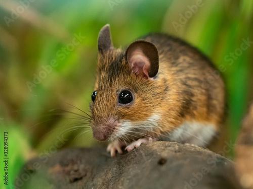 Fototapeta Yellow necked mouse (Apodemus flavicollis) obraz