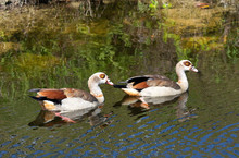 Pair Of Egyptian Geese With Bu...