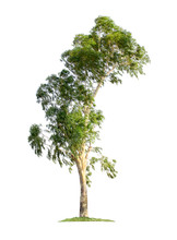 Eucalyptus Tree Isolated On Wh...