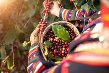 Akha Woman Picking Red Coffee ...